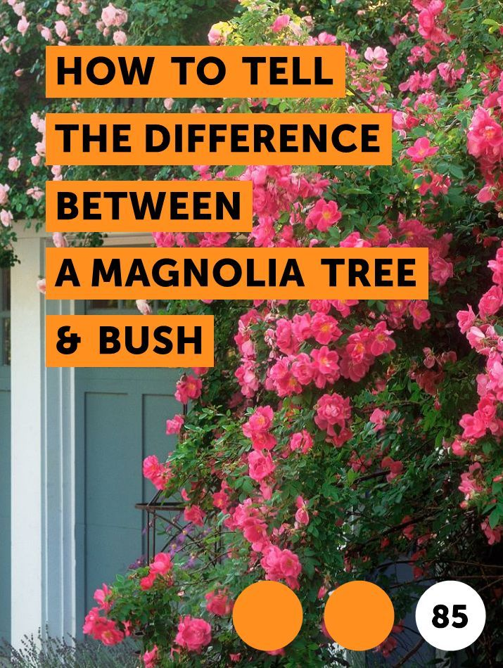 Learn How To Tell The Difference Between A Magnolia Tree Bush How To Guides Tips And Tricks Facts About Plants Magnolia Trees Ocean Plants