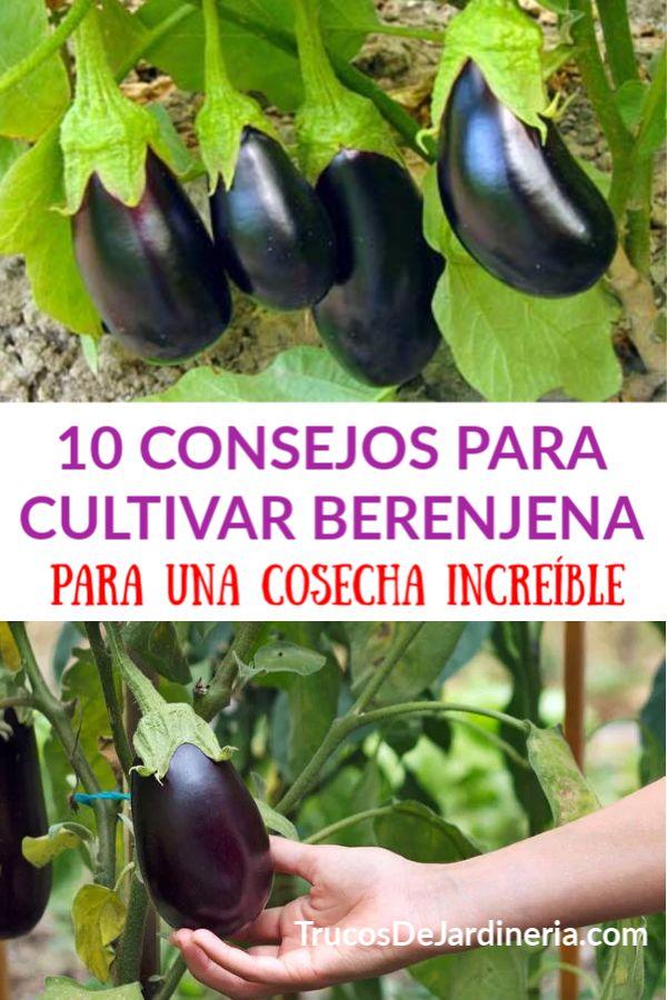 10 Consejos Para Cultivar Berenjena