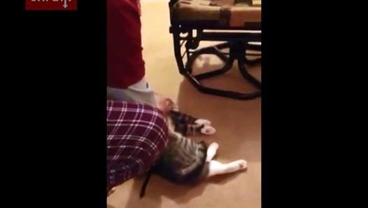 Ce chat fait semblant d'être mort pour éviter la promenade