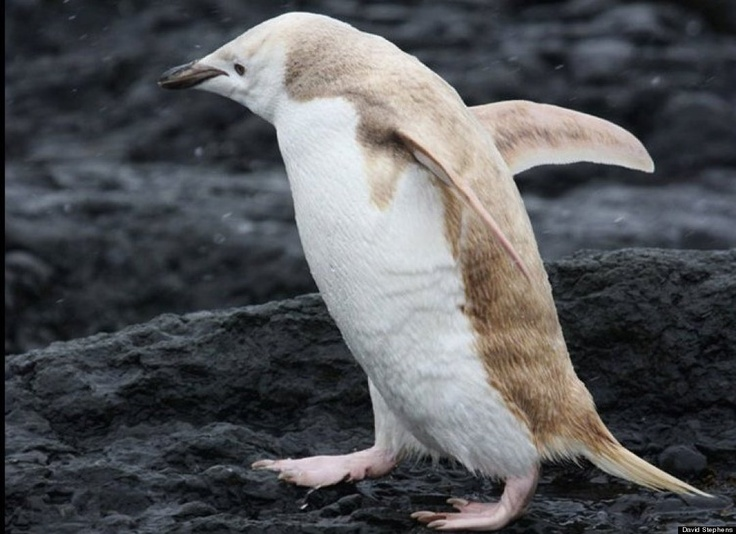 A rare, mostly white-colored penguin was discovered in Antarctica in early January 2012. Photo credit: naturalist David Stephens.