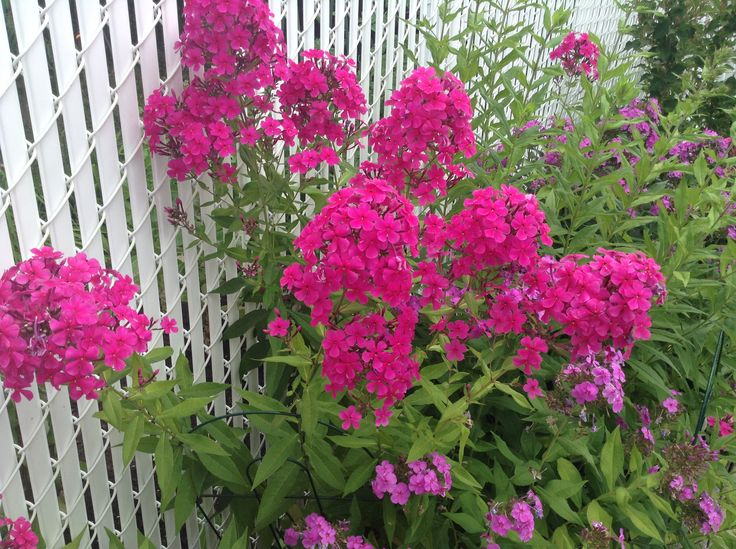 Flox fragrant blooms twice amazing fuchsia