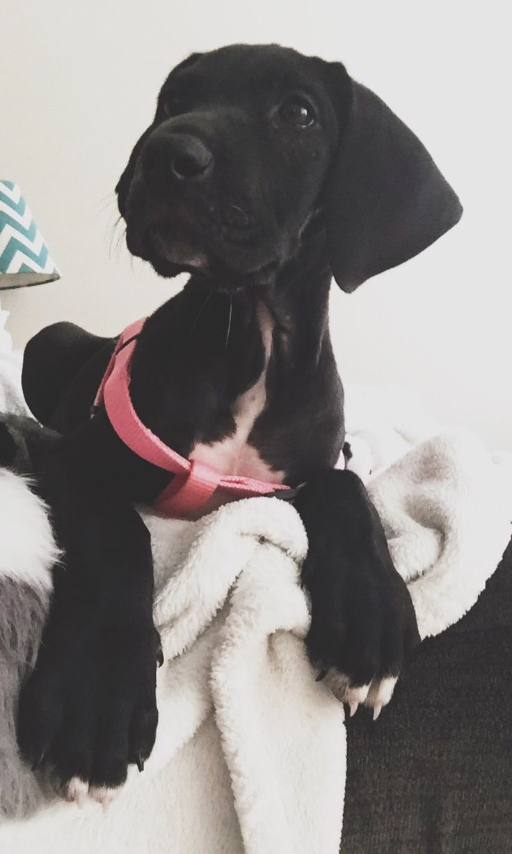 I am pinning this one because this last Christmas we got a Great Dane puppy, Maverick!! (Who also pretty much looks like this one)