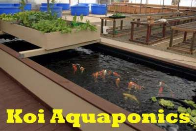 Building a simple koi aquaponics pond http for Koi aquaponics