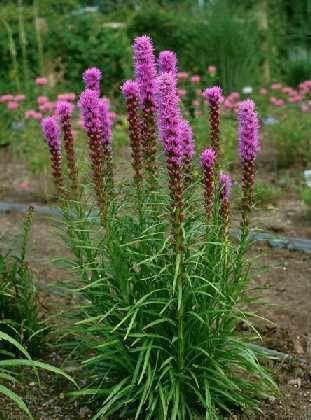Punatähkä Liatris spicata 'Floristan Violet'. Näyttävä ja helppohoitoinen perenna. Komeat punalilat kukinnot heinä-syyskuussa, hyvä perhoskasvi ja leikkokukka. Jämäkkävartinen, ei tarvitse tuentaa. Arka talvimärkyydelle, valitse kasvupaikka joka kuivuu talveksi. Korkeus 50-80 cm, istutus 30 cm välein.