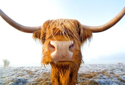 You eat WHAT! Scottish Highland Cow - Roger Hinchliffe Photography