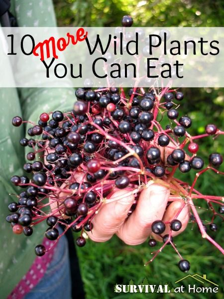 10 More Wild Plants You Can Eat | Survival at Home | #prepbloggers #foraging