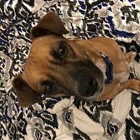 Glastonbury, Connecticut - Chihuahua. Meet Honey - Local, a for adoption. https://www.adoptapet.com/pet/19934498-glastonbury-connecticut-chihuahua-mix