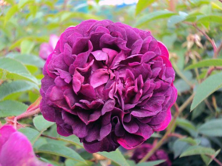 Historische Rose Gallica L'Eveque - Züchter unbekannt, vor 1790
