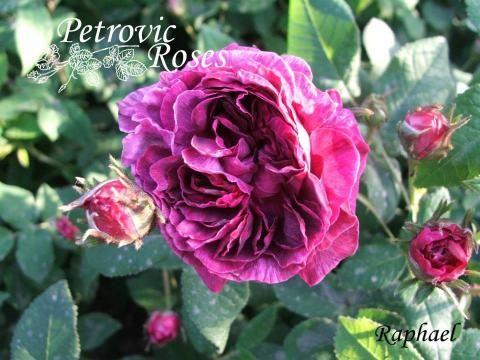 Raphael | Petrovic Roses