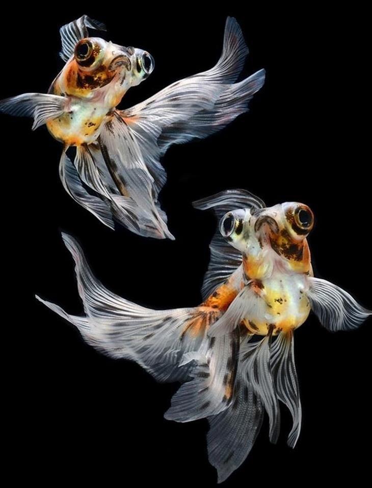 247 besten Aquarium Asien Bilder auf Pinterest  schne Fische