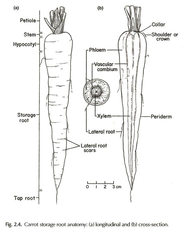Parts Of A Carrot Plant Unique Archive Ecological