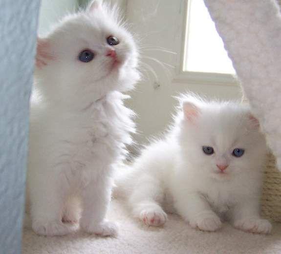 WHITE cats rare - Google Search