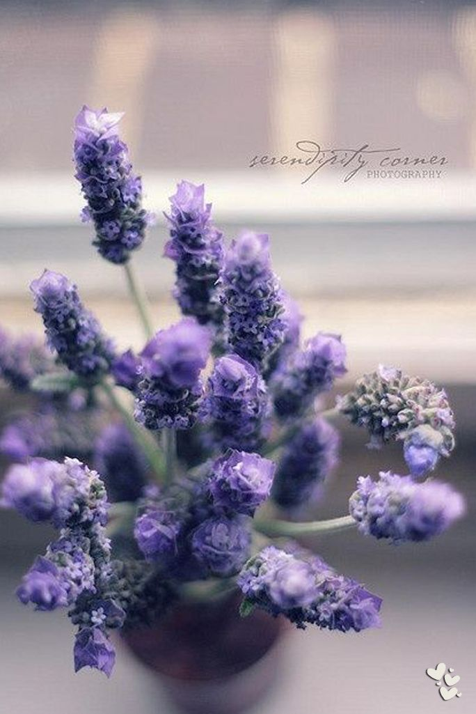 ❤ ❤ ❤ interesting angle for this photograph of lavender. Love the depth of field and soft colours
