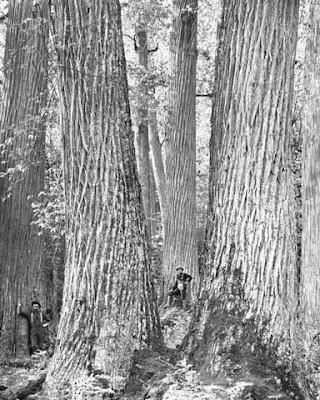 chestnut blight and american chestnut trees essay Heavily callused chestnut blight cankers on american chestnut trees after (lethal) cankers resulted in canker remission (18) grente published several papers p j 1914 the morphology and life history of the chestnut blight fungus pennsylvania chestnut tree blight.