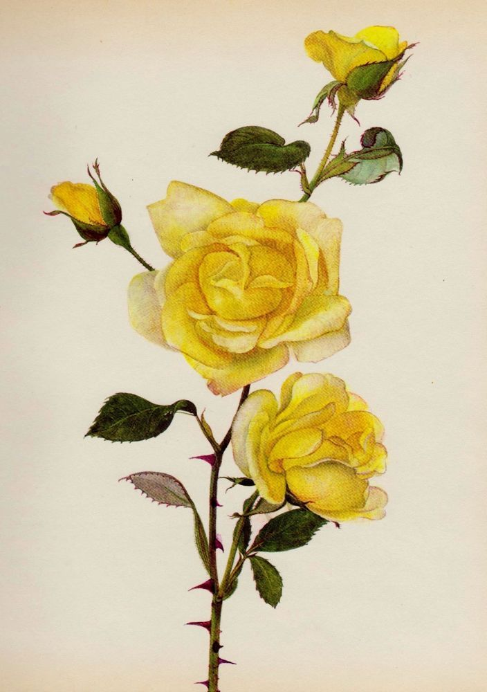 YELLOW ROSE Print Botanical Print Chabby Chic Gallery Wall Art Roseart 1343