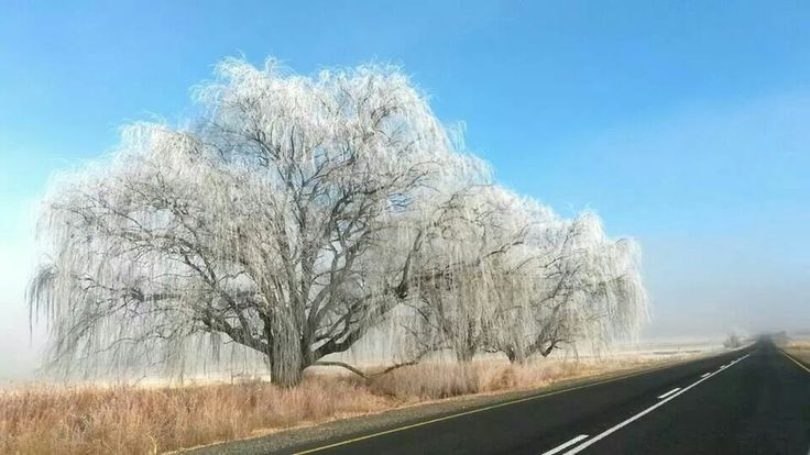 Frosted Willow Freestate