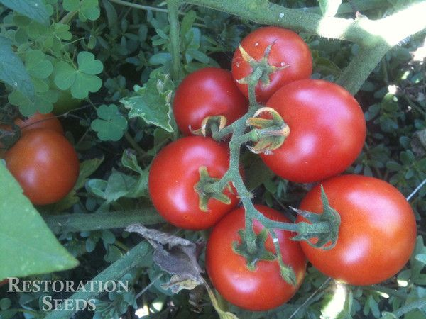 amys sugar gem tomato Developed by Dr Jeff McCormack from a Red