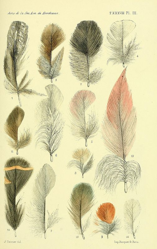 Biological illustration of feathers: Biodiversity Heritage Library [Faune de la Sénégambie /. Paris :O. Doin,1883-1887.. www.biodiversitylibrary.org/page/34755805] #botany #studiopaars