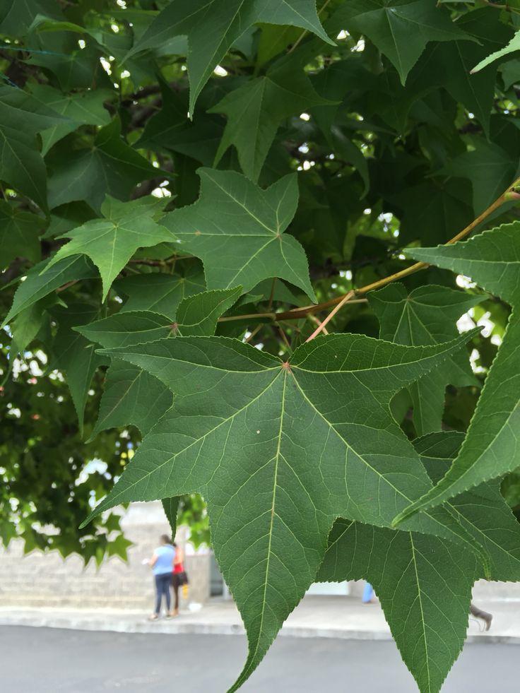 Hojas del árbol Liquidambar