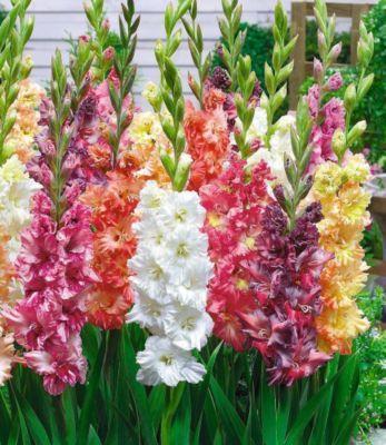 Papagei-Gladiolen-Mischung 20 Zwiebeln Gladiolus Schnittblumen - https://www.plus.de/p-1681768000?RefID=SOC_pn
