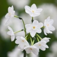 Narcissus Paperwhite 'Inbal' for Forcing