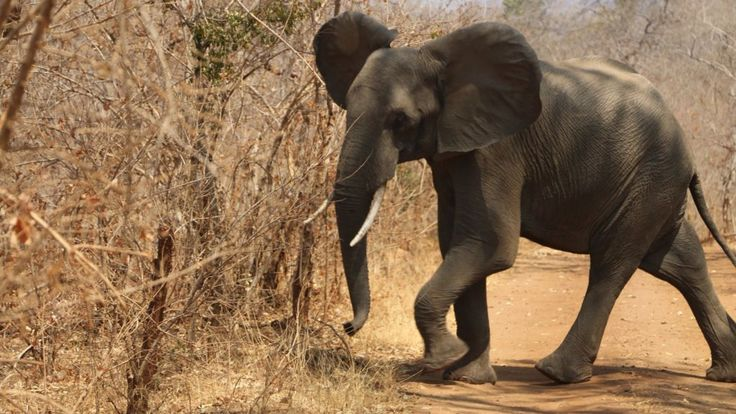 Elephant populations in Africa have declined by around 111,000 over the past ten years according to a new study presented at the Cites meeting in South Africa.