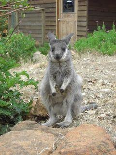 Western brush wallaby (Macropus irma) é uma espécie de marsupial da família Macropodidae. Endêmica da Austrália, é restrita ao sudoeste da Austrália Ocidental.