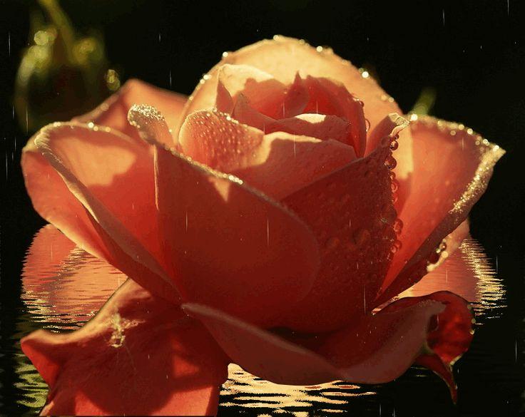 Роза гифка