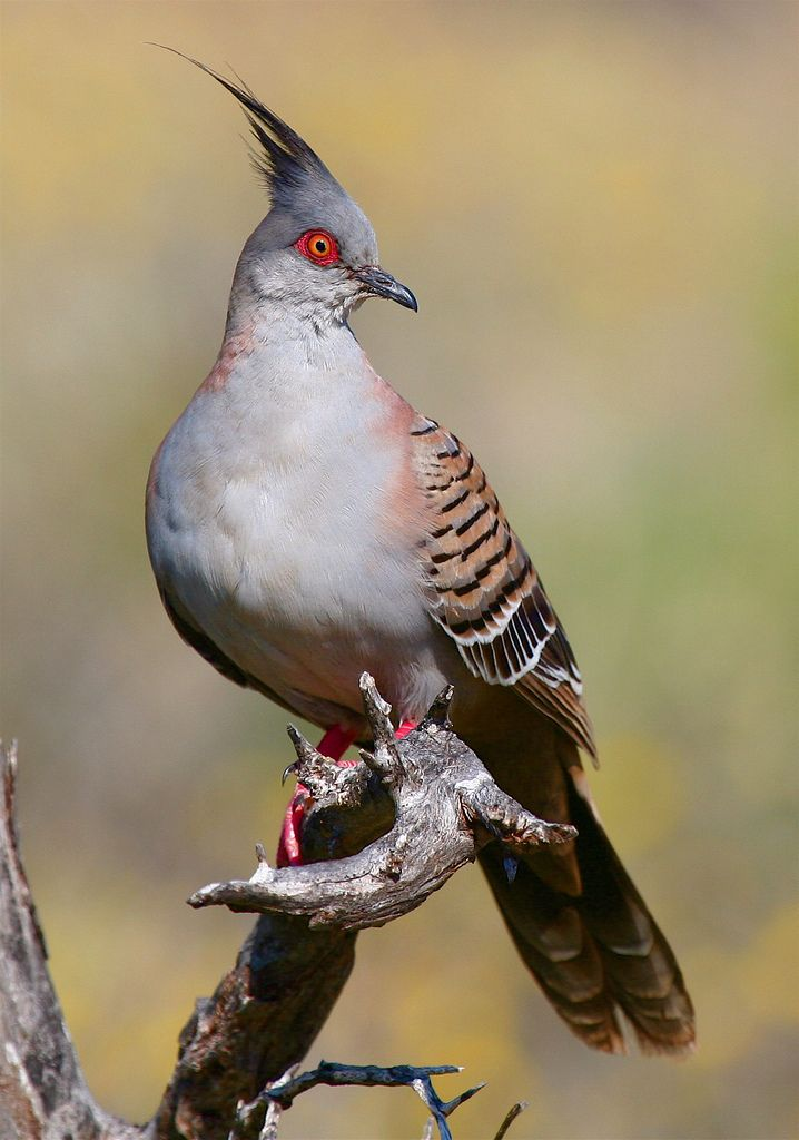 Exotic Birds - Crested Pigeon