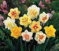 Narciso: En la antigüedad se creía que el dulce y embriagador causaba la locura. Narcisismo significa vanidad y la flor simboliza justamente ese peligro.