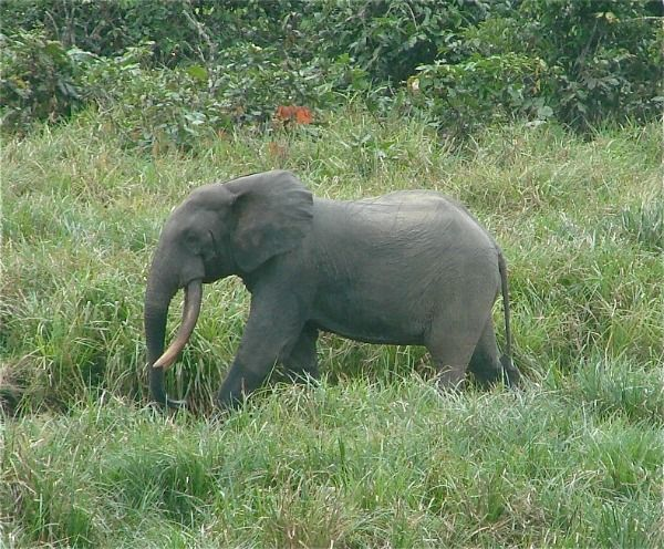 "Miniature African Forest Elephants Could Be Extinct in 10 Years   How can we let this happen? How do we decide which species to ""save"" and which can be sustained.  Read more: http://blogs.smithsonianmag.com/science/2013/03/miniature-african-forest-elephants-could-be-extinct-in-10-years/#ixzz2O7aDltsi  Follow us: @SmithsonianMag on Twitter"