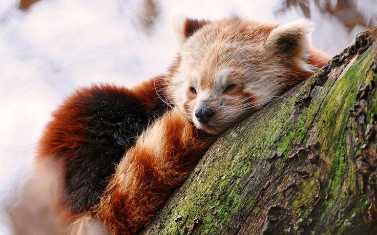 Sonolento Panda vermelho Vetor