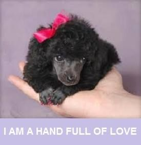 I Love Poodles. You little doll. You are a female version of my Carter (he owns this board).