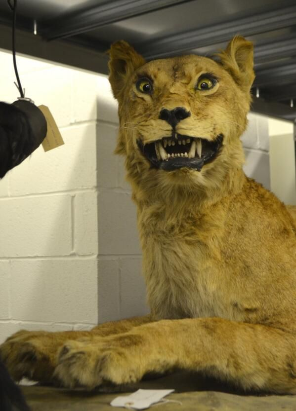 """Great North Museum. """"It's probably our slightly deranged lioness! She's a visitors' favourite on our behind-the-scenes tours"""""""
