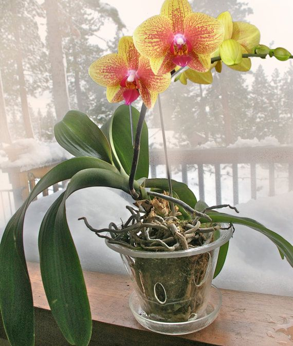 The 25 best orchid pot ideas on pinterest orchids garden orchids and orquids care - How to care for potted orchids ...
