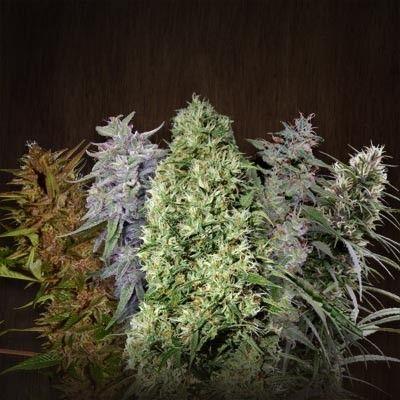 ACE Mix Regular #mariuana #marijuana #dank #marihuana #weed #high #pot #medical #cannnabis