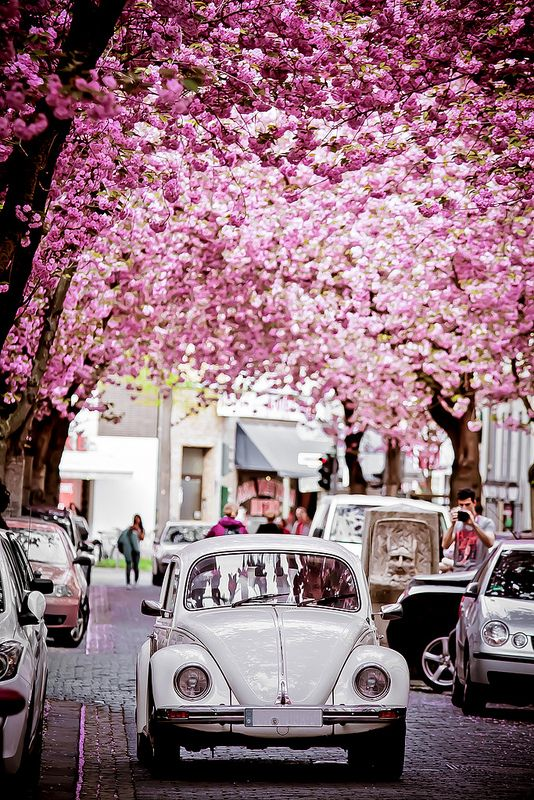 Beetles and Cherry Blossom, Bonn, Germany