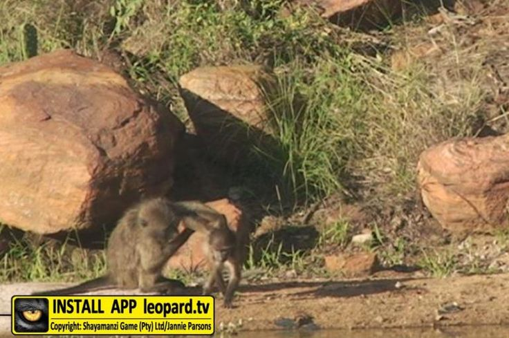 "Tshwene is the Tshwana word for ""Baboon"". Every night a huge herd of baboons sleep here in the waterberry trees. Tshwene is a bush camp hidden in a gorge with a beautiful view of a lake and forest-covered hills in the distance. Enjoy the photos taken at this camp... #leopardtv #shayamanzi #africanwildlife #tbt"