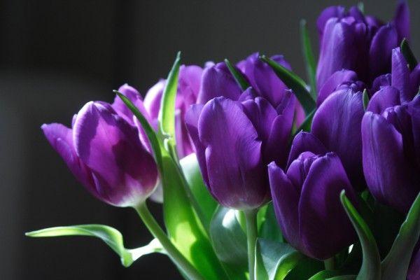 FLOWER SHOP: Purple tulip flowers pictures.