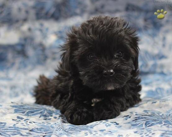 Cutie Yorkiepoo puppy - Click image to find more Animals Pinterest pins: Puppy Dogs, Yorkiepoos, Pet, Cutie Yorkiepoo, Yorkie Poo, Puppy Yorkiepoo, Yorkiepoo Dogs, Yorkiepoo Puppy