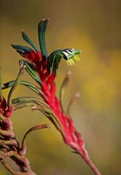 TWA-0053601 © WestPix Kangaroo paws in bloom at Kings Park today. Picture: Megan…