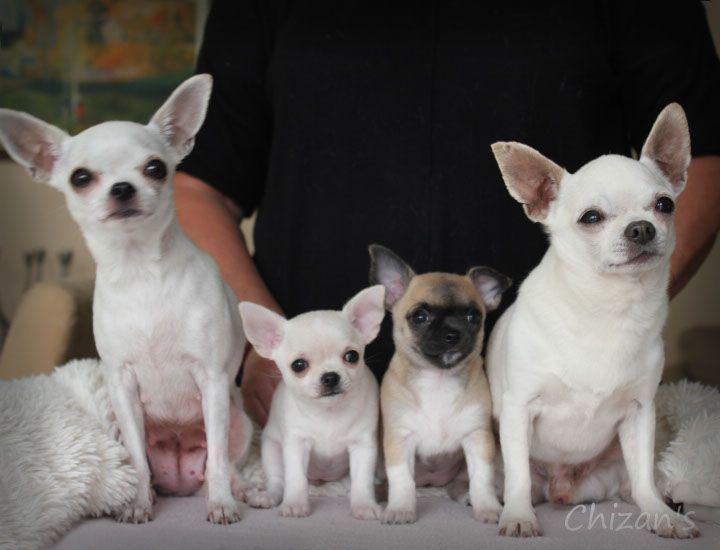 チワワ おしゃれまとめの人気アイデア Pinterest Yuko チワワ 犬 ペット
