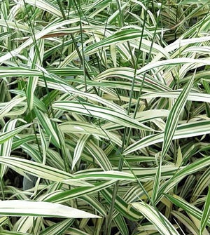 52 best images about ornamental grass on pinterest for Ornamental sea grass