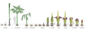 http://plantasyjardin.com/2011/05/amorphophallus-titanum-la-extraordinaria-flor-con-forma-de-pene-y-olor-a-cadaver/