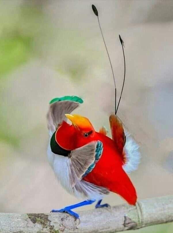 Bird Of Paradise Burung Cantik Hewan Burung
