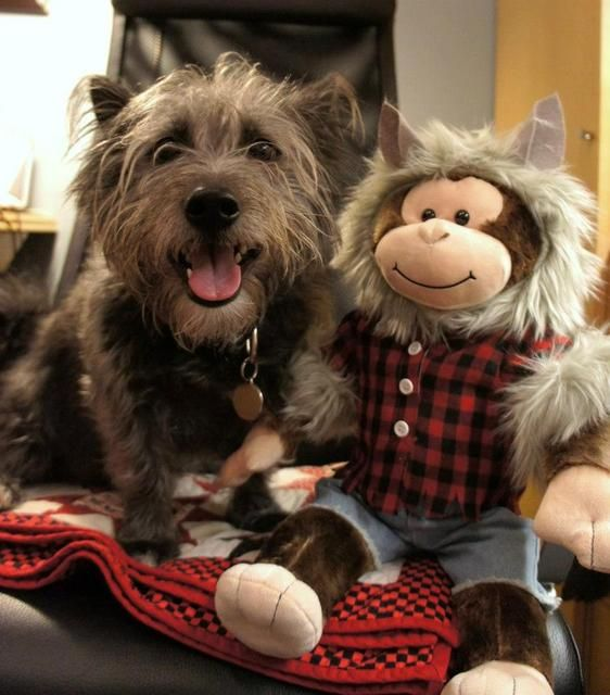 Top Cairn Terrier Ball Adorable Dog - c4c8287a771a5f310b7b16f8bb8d74c6--terrier-dog-breeds-cairn-terriers  Snapshot_43848  .jpg