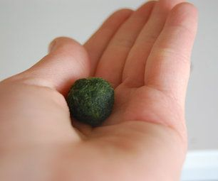 Cladophora ball Aegagropila linnae A marimo ball is a rare growth form of algae, which grows into large green balls with a soft, velvety appeara...