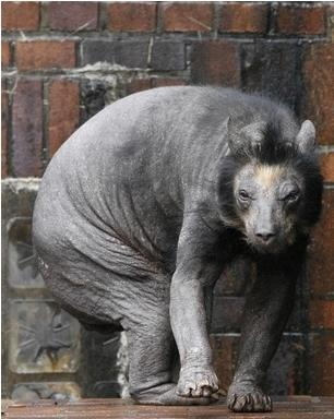 Not to scare you but this is Delores the hairless bear. I think this is where the look for the Chupacabra comes from.