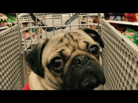 "This Pug Channels His Inner Mariah With ""All I Want For Christmas Is Food"""