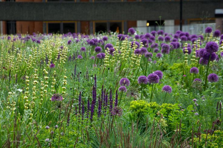 Matrix planting: alliums, salvia, sisyrinchium, euphorbia mingle with grasses